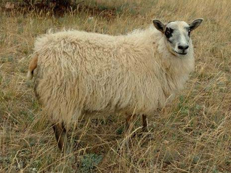 Icelandic Lamb For Sale — Dilly