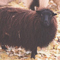 Image of black Icelandic fleece