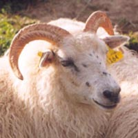 Image of a freckled Icelandic sheep