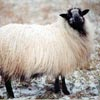 Example of an Icelandic sheep exhibiting the badgerface pattern
