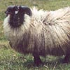 Example of an Icelandic sheep exhibiting the grey pattern