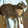 Example of an Icelandic sheep exhibiting the grey mouflon pattern