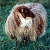 Example of an Icelandic sheep exhibiting the mouflon pattern