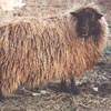 Example of an Icelandic sheep exhibiting the solid pattern which is really no pattern at all