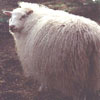 Example of an Icelandic sheep exhibiting the white pattern