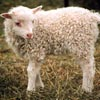 An example of an Icelandic sheep exhibiting the white pattern