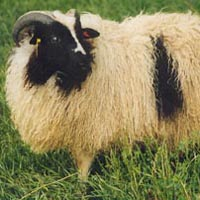 Image of a spotted Icelandic sheep