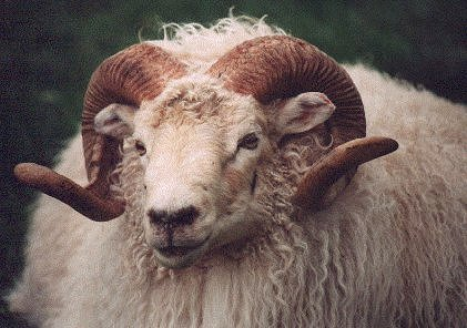 Image of a yearling horned Icelandic ram
